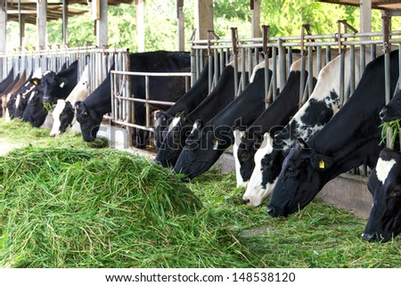 cow eating grass on the farm - stock photo