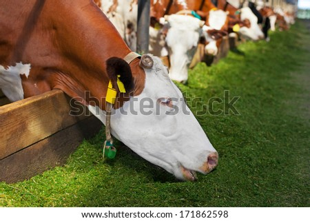 Cow eating green grass