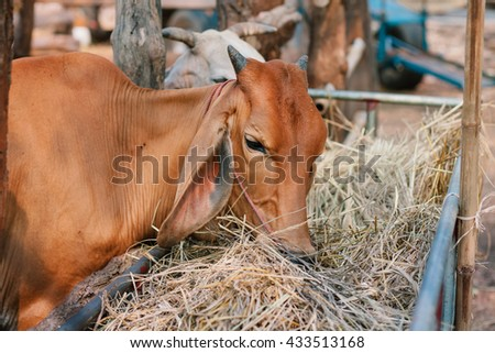 Cow eating hay in stable.