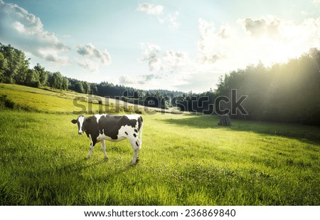 Cow ecological pasture on a meadow - stock photo