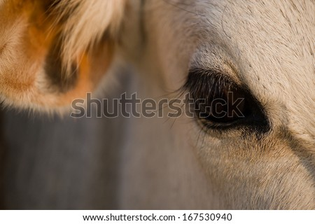 Cow Eye - stock photo