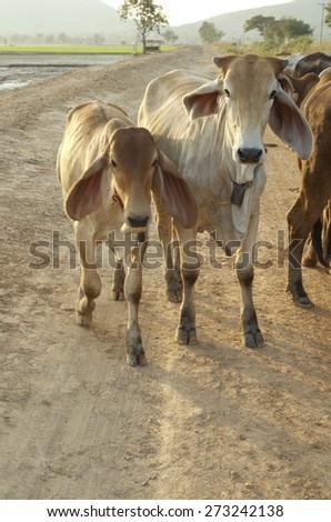 cow family - stock photo