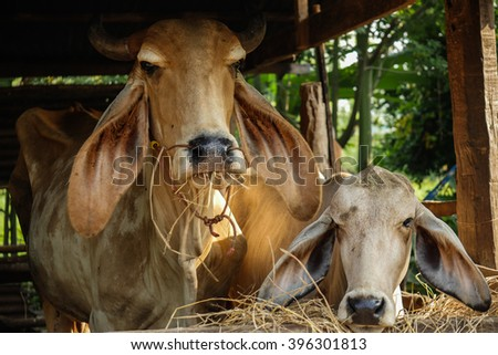 cow family in my uncle farm thailand
