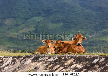 Cow family. Mother with calves resting, with green hills background. - stock photo