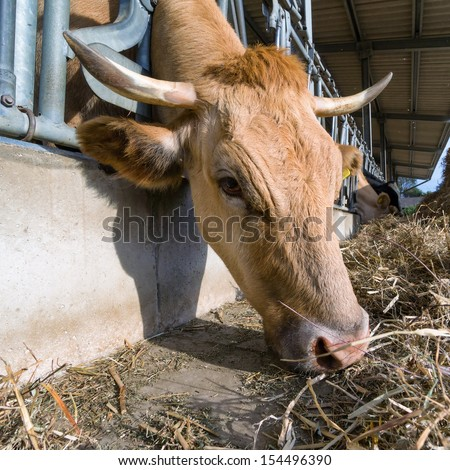 Cow feeding on a farm with silage - stock photo