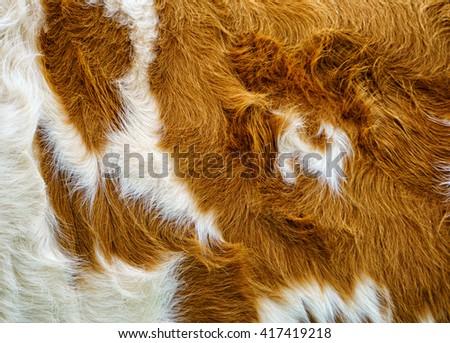 cow fur background  - stock photo