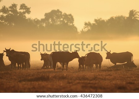 Cow graze in field with masses in morning :Close up,select focus with shallow depth of field.