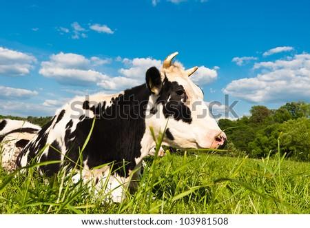 cow grazes on green meadow - stock photo