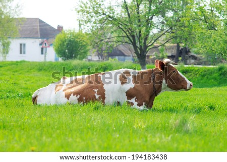Cow grazing at the meadow in countryside - stock photo