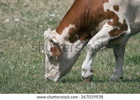 Cow grazing grass - stock photo