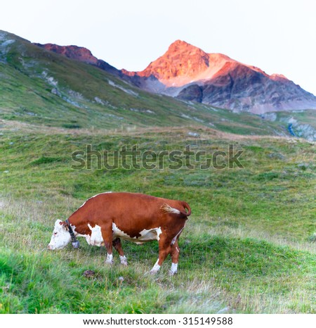 Cow grazing in a meadow of Swiss Alps - stock photo