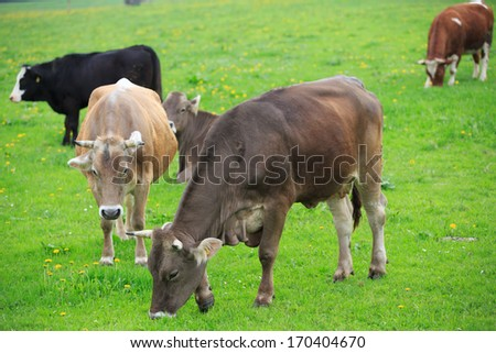 cow grazing in an alpine green meadow.