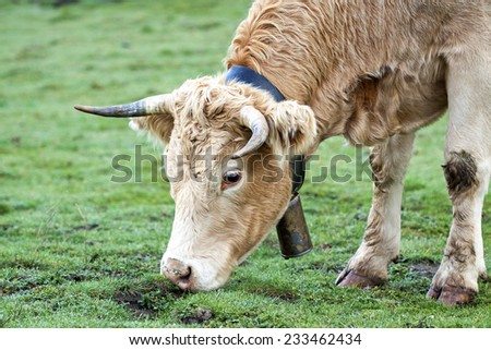 Cow grazing in cold morning. - stock photo