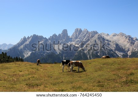 cow grazing in Prato Piazza. In the background the Monte Cristallo (Dolomites)