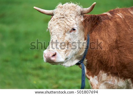 Cow grazing on a green field
