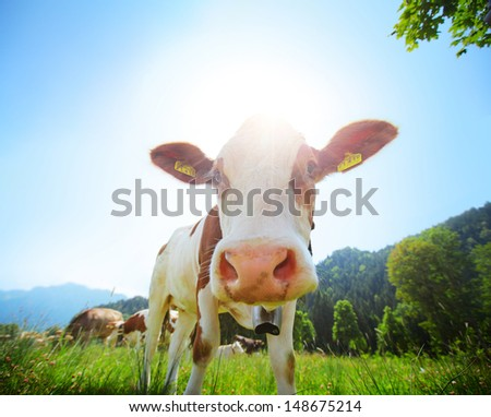 Cow grazing on a green summer alpine meadow - stock photo