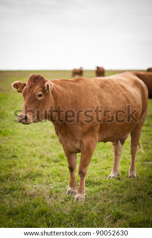 Cow grazing on a lovely green pasture - stock photo
