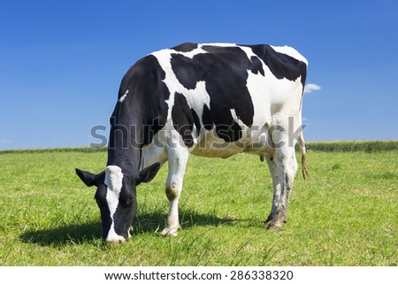 Cow grazing on a meadow - stock photo