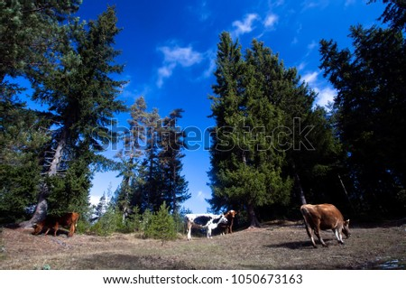 cow grazing on meadow in mountains. Cattle on a mountain pasture. Summer sunny day. Cow in pasture. Mountain meadow. Green meadow in mountains and cow, summer landscape.