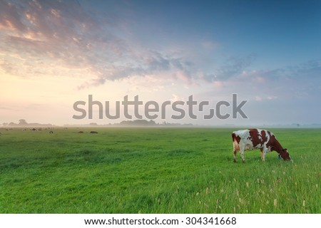 cow grazing on pasture in summer morning - stock photo