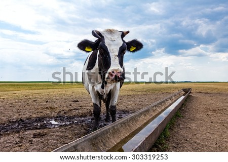 Cow, heifer is standing by a water metal trough in the summer meadow.