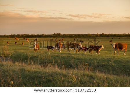 Cow herd in sunset - stock photo