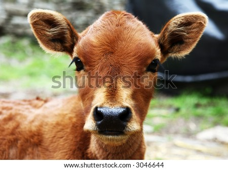Cow. Himachal Pradesh. India - stock photo