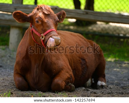 cow in a farm licking its mouth - stock photo