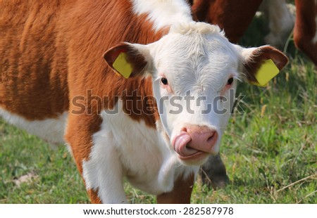 cow in a field, licking its nose - stock photo