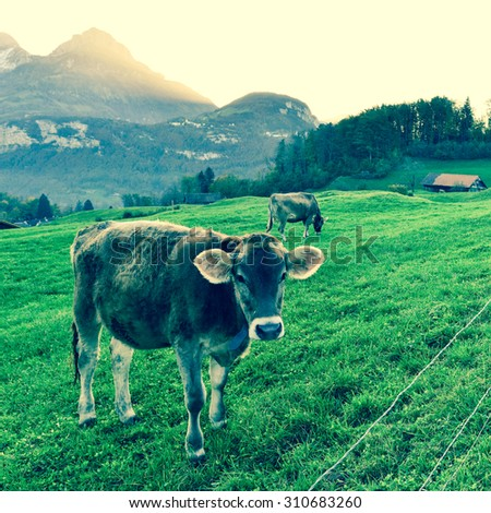 Cow in a meadow in the Alps. Sunset. Filter soft light. - stock photo