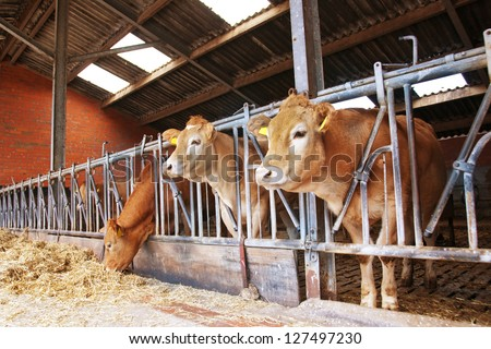 cow in a stable - stock photo