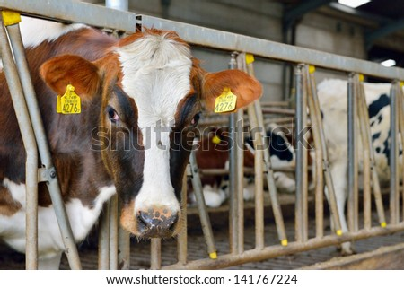 cow in a stable feeding and drinking - stock photo