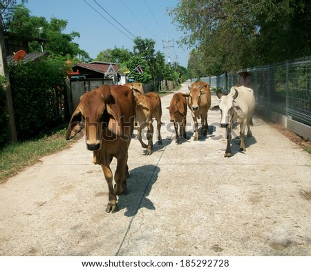 cow in a stable - ox  - stock photo