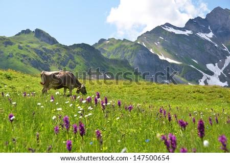 Cow in an Alpine meadow. Melchsee-Frutt, Switzerland  - stock photo