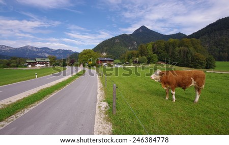 cow in Austria landscape with road and mountain - stock photo