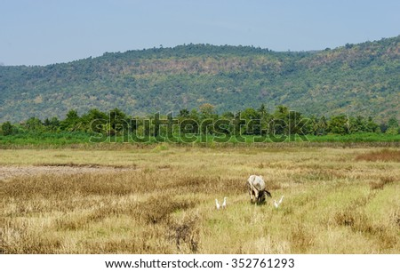 cow in cornfield wilted