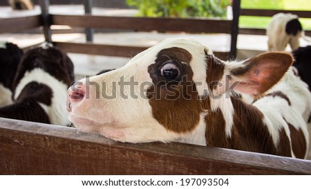cow in frame - stock photo