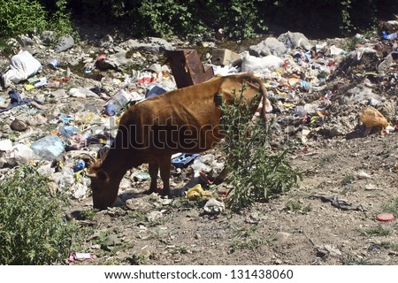 Cow in garbage - stock photo