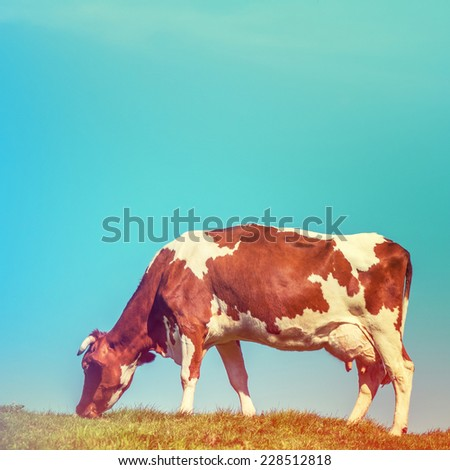 Cow in grass field, instagram effect - stock photo