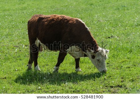 Cow in meadow at autumn