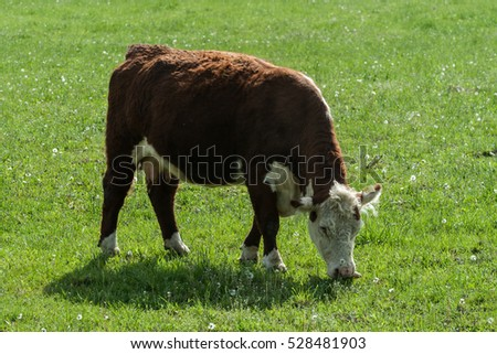 Cow in meadow at autumn on pasture