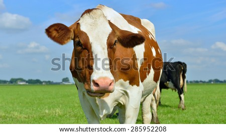 cow in meadow close by - stock photo