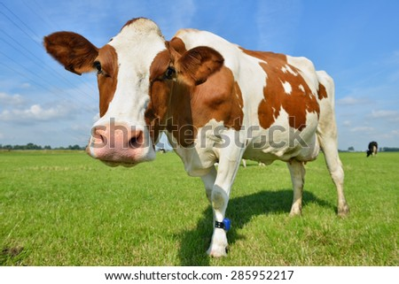 cow in meadow close by