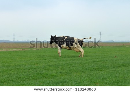 cow in meadow runs and jump out of winter stable - stock photo