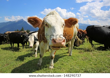 Cow in North Tirol. Austria