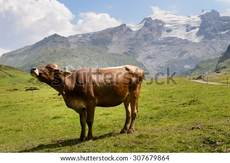 Cow in pasture at Truebsee over Engelberg on the Swiss alps - stock photo