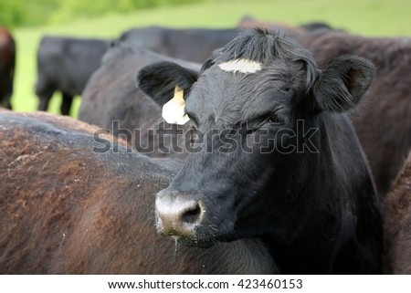 Cow in pasture within herd
