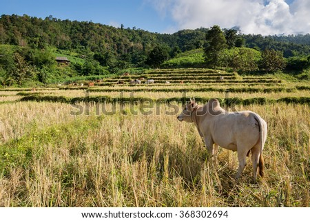 cow in rice field - stock photo