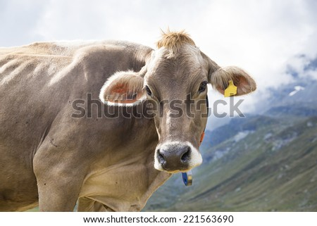 Cow in the alps