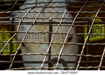 cow in the cage, in agriculture - stock photo
